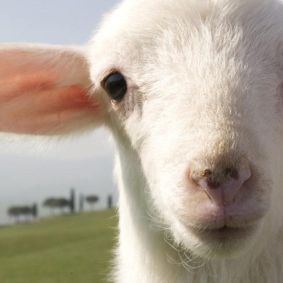 Le pecore arrivano in paese